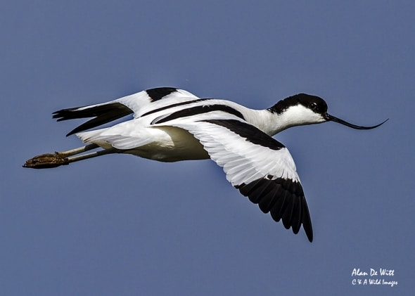 Avocet on the Wing
