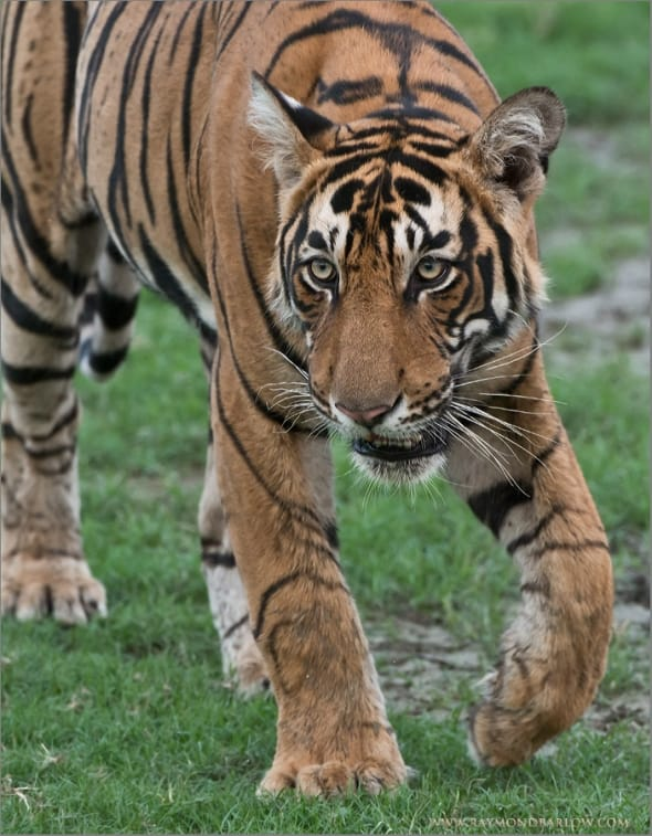 Tiger on the Hunt