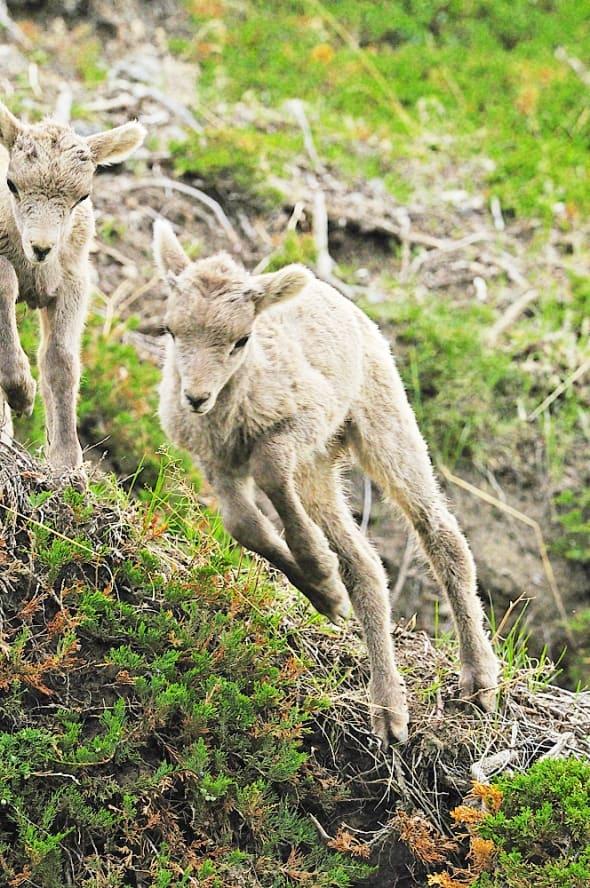 Bighorn Lambs- Jumping &  Playing