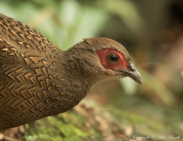 Swinhoe's Pheasant Lophura Swinhoii