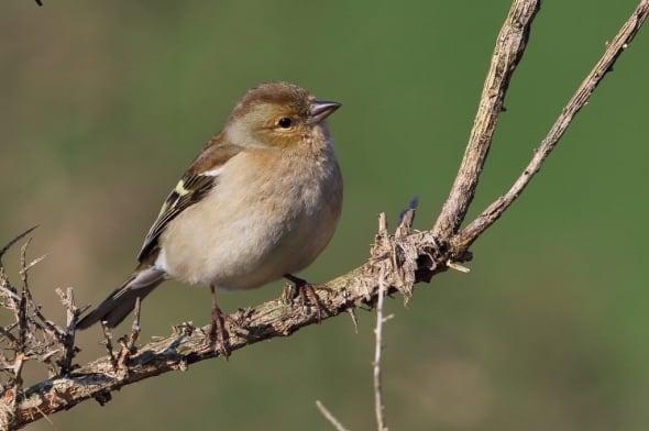 Female Chaffinch Fringilla coelebs
