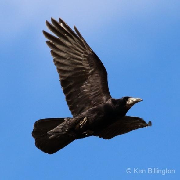 Eurasian Rook Corvus frugilegus