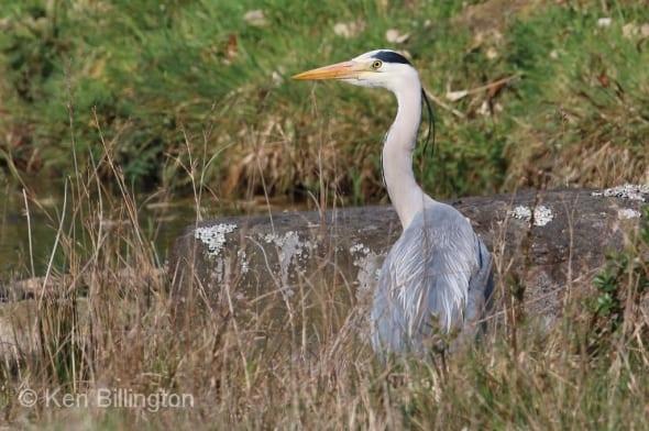 Grey Heron (Ardea cinerea) (28)