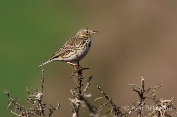 Meadow Pipit (Anthus pratensis) (27)