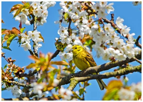 Yellowhammer in the Blossom!