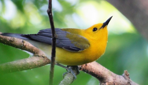 Prothonotary Warbler Looking up