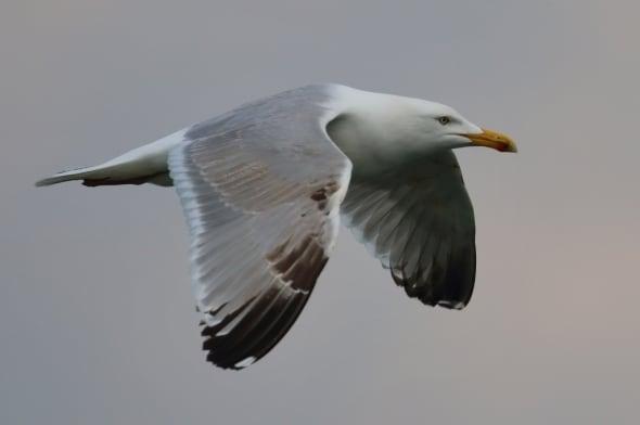European Herring Gull Larus argentatus