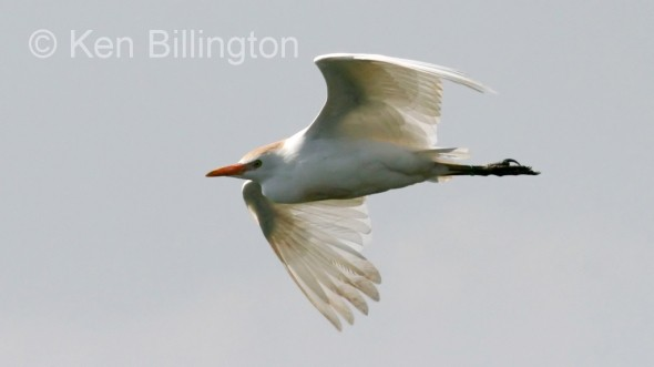 Cattle Egret (Bubulcus ibis) (01)