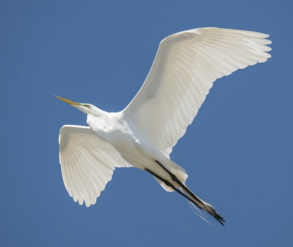 Great White Egret Soaring