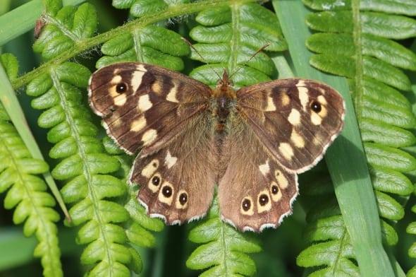 Speckled Wood Pararge aegeria tircis