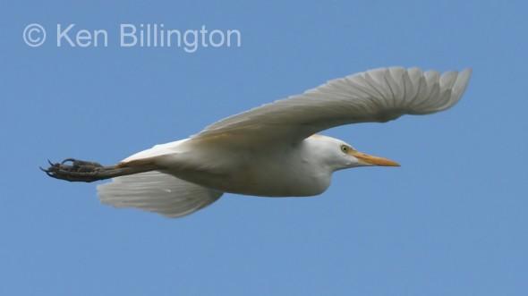 Cattle Egret (Bubulcus ibis) (05)