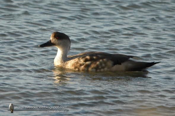 Crested Duck Lophonetta specularioides