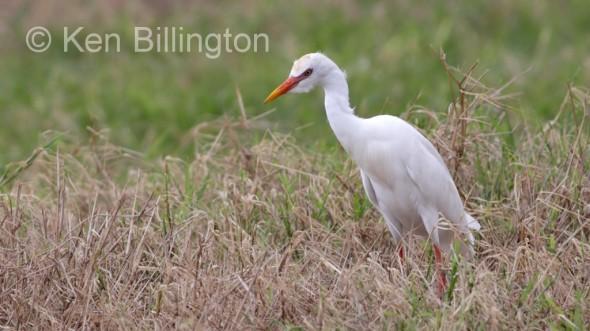 Cattle Egret (Bubulcus ibis) (06)