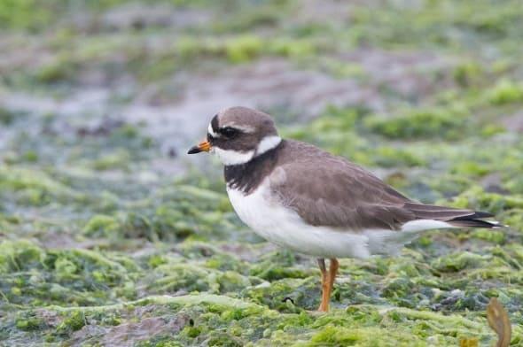 Ringed Plover at Pennington Marsh