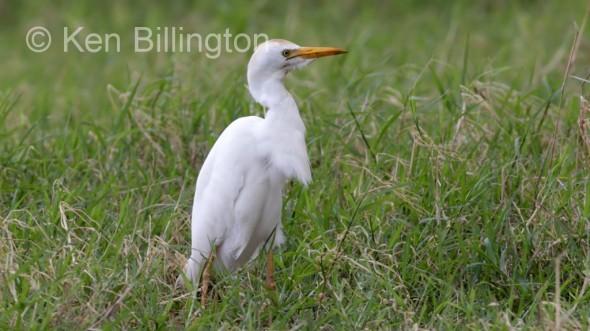 Cattle Egret (Bubulcus ibis) (07)