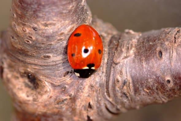 Ladybird on Cherrywood