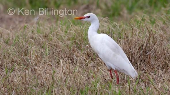 Cattle Egret (Bubulcus ibis) (09)