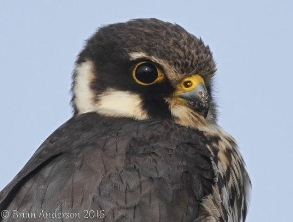 Falco Subbuteo - The European Hobby