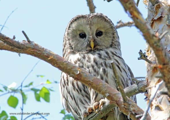 Those jet black eyes are scary - Ural Owl