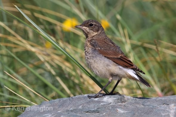 Juvenile Northern Wheatear Oenanthe oenanthe