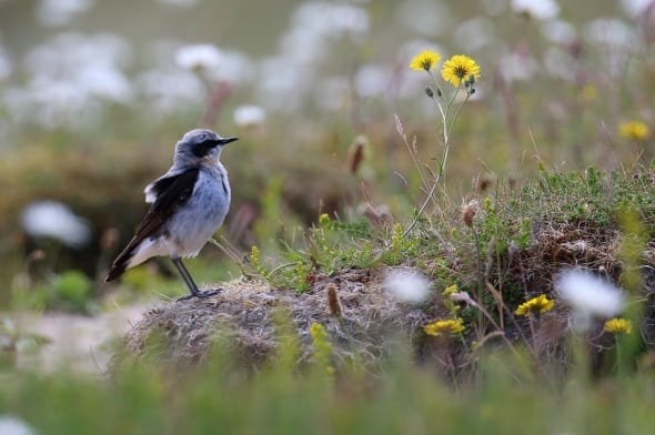 Northern Wheatear Oenanthe oenanthe