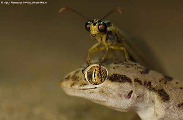 Antlion on Sind Sand Gecko