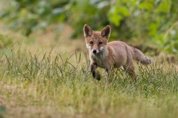 Encounter with a Red Fox cub