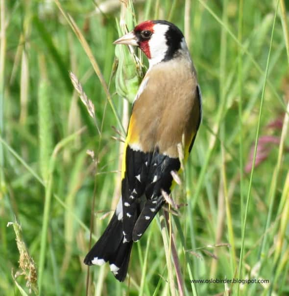 Goldfinch are always nice to see