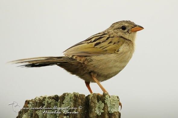 Lesser-grass Finch Emberizoides ypiranganus