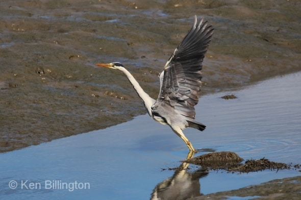 Grey Heron Ardea cinerea
