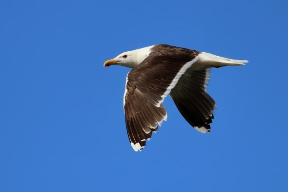 Great Black-backed Gull Larus marinus