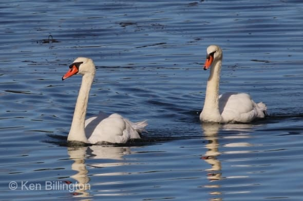 Mute Swans Cygnus olor