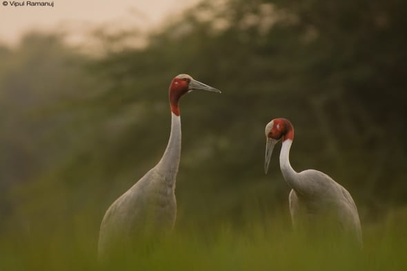 Sarus Cranes  -  Grus Antigone