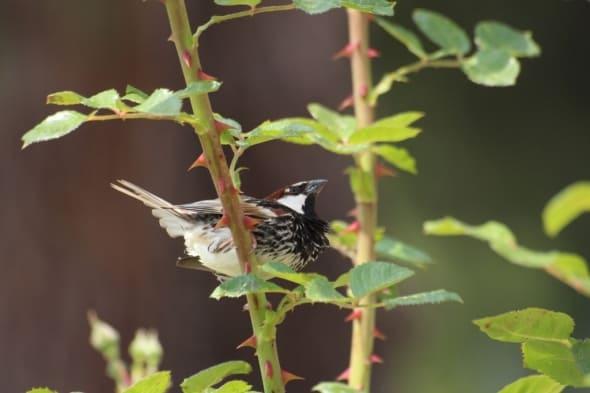 A Male Eurasian Tree Sparrow(Passer Montanus)