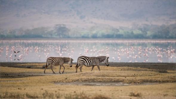 Zebra Family - Ngorogoro Crater