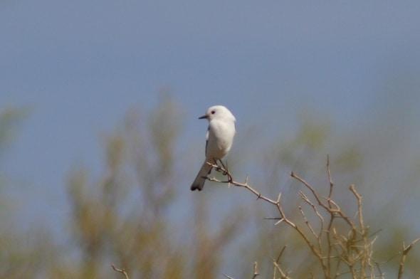 Monjita Blanca-white Monjita-xolmis Irupero