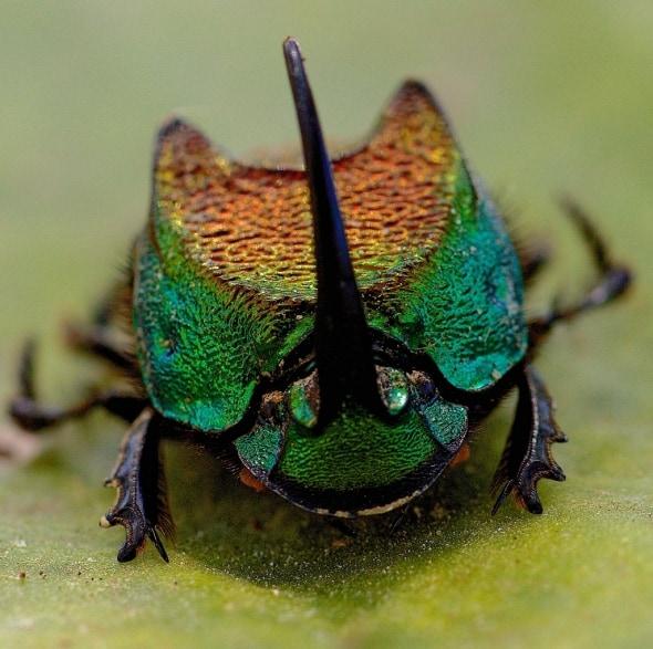 Rainbow Scarab Beetle (Phanaeus Vindex)