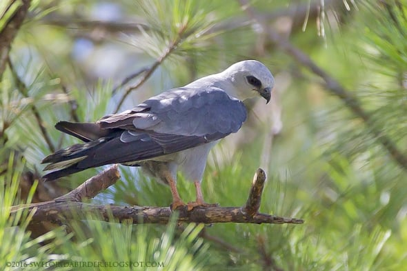 Mississippi Kite at Marion County