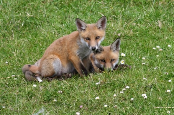 Red Fox Cubs Among the Daisies