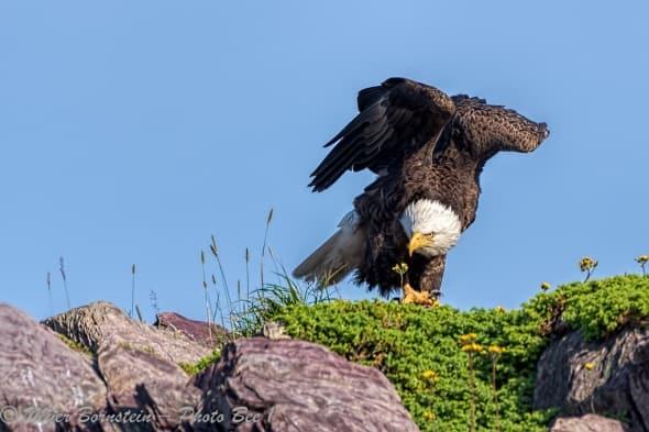 Bald Eagle on Guard