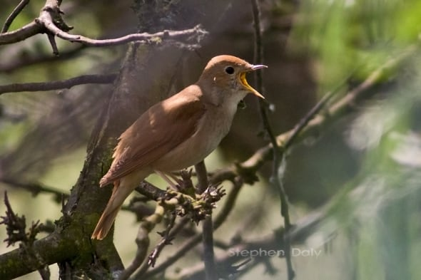 Nightingale in Song