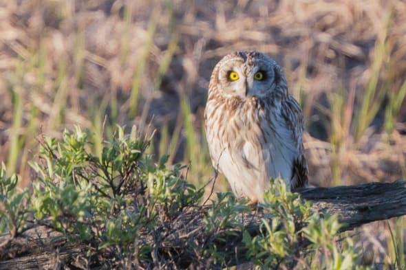 Short-eared Owl in Alaska