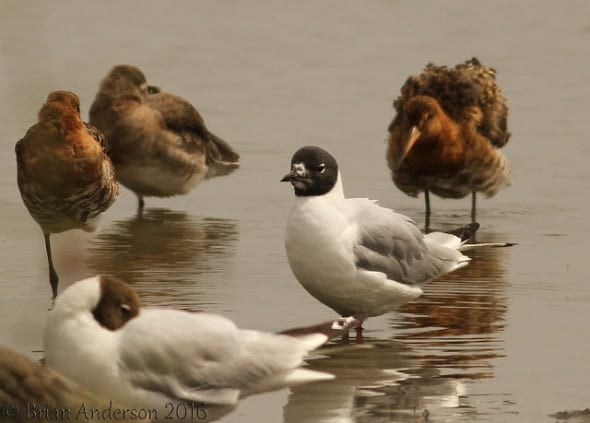 Bonaparte's Gull at Oare Marsh