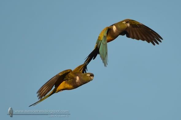 Burrowing Parakeet Cyanoliseus patagonus