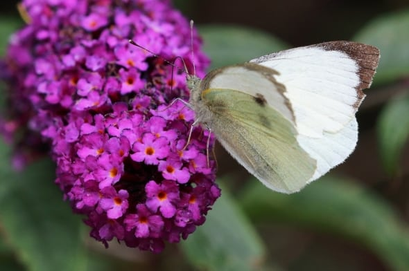 Large White Butterfly Pieris brassicae