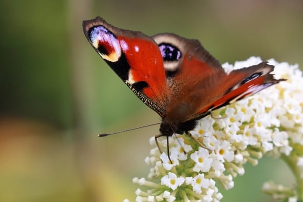 Peacock Butterfly Drinking Nectar on Buddleia