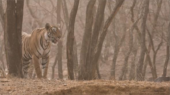 Tigress Arrowhead Hunting