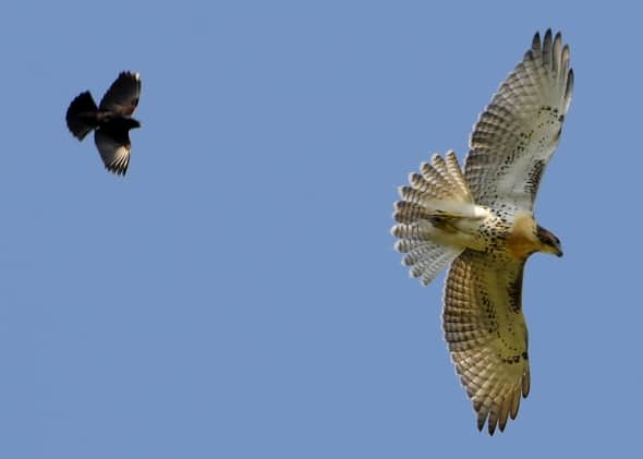 Aerial Combat - Redwing Drives Out Redtail
