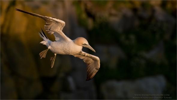 Northen Gannet in Flight