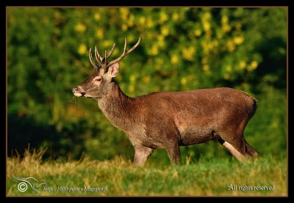 Red Deer Getting Ready for the Rut